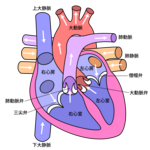 600px-Diagram_of_the_human_heart_(cropped)_ja_svg.png